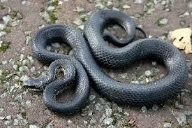 カラスヘビ